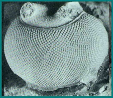 Trilobites  Trilobiteeye