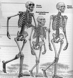 science and faith: the hominid fossil record, Skeleton